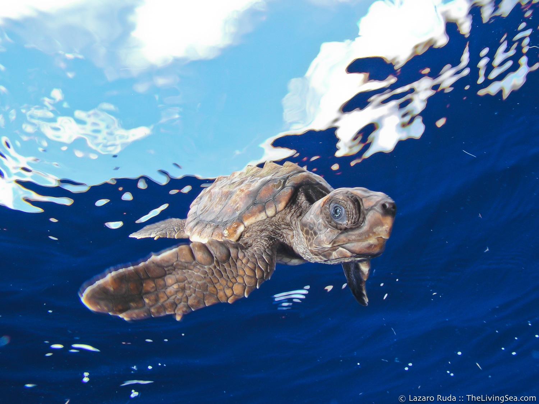 Cheloniidae, Marine Life, Reptiles, Reptilia, Sea Turtles: Testudines, loggerhead: loggerhead turtle: Carreta carreta, marine, ocean, portrait, underwater, underwater photo, wide angle