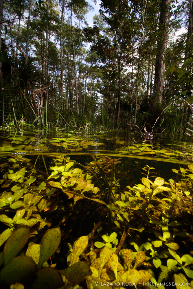 close focus / wide angle, copyrighted, fresh water, green, marsh, plant, side profile, split shot, swamp