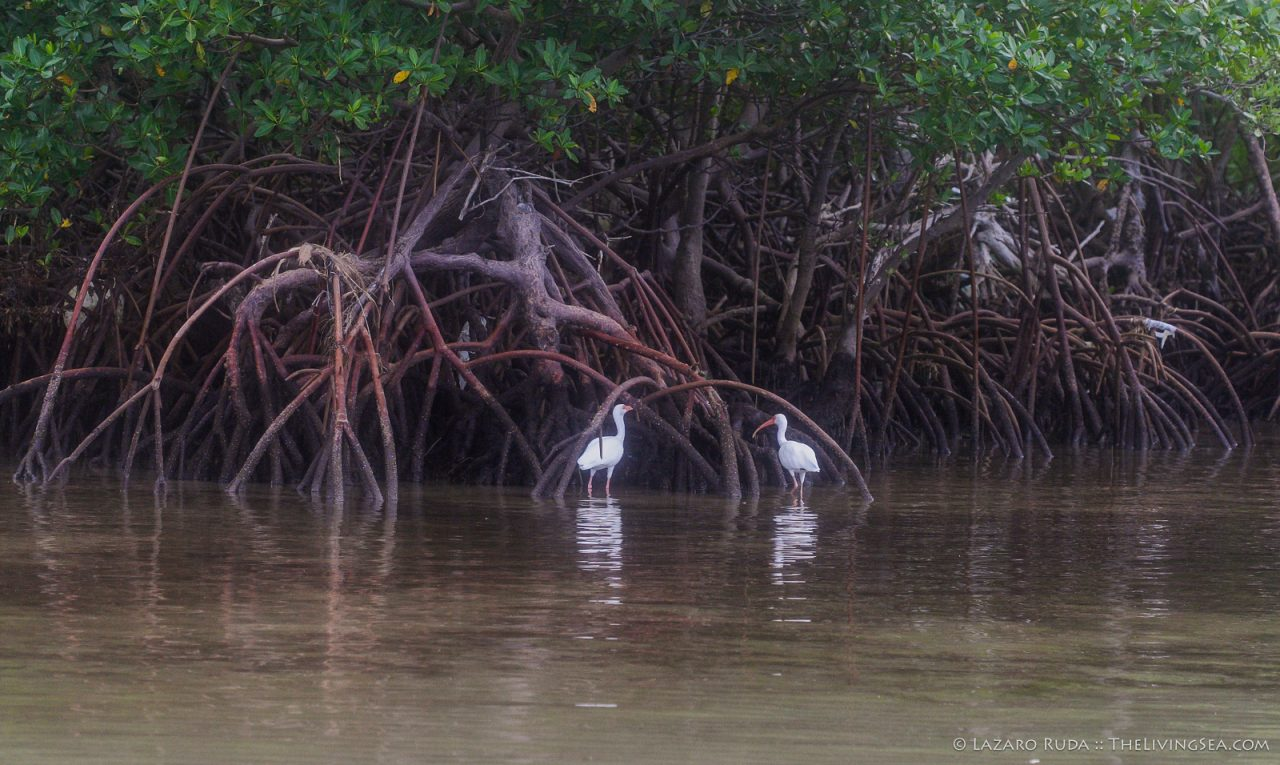 051022, White Ibis, bird, copyrighted, green, horizontal, landscape, telephoto, white, zoom