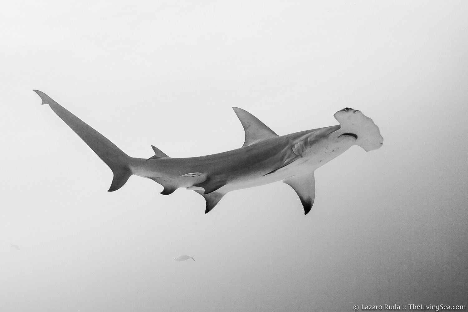 Bahamas, Cartilaginous Fishes: Chondrichthyes, Fishes, Ground Sharks: Carcharhiniformes, Hammerhead Sharks: Sphyrnidae, Marine Life, Sharks, West Indies, b/w, copyrighted, great hammerhead shark: Sphyrna mokarran, marine, ocean, open ocean, tropical, underwater, underwater photo, wide angle