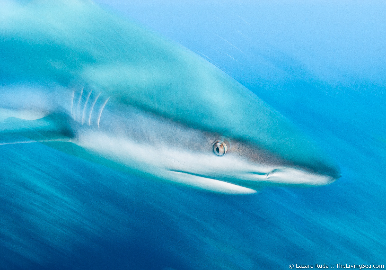 Caribbean reef shark: Carcharhinus perezi, Cartilaginous Fishes: Chondrichthyes, Fishes, Ground Sharks: Carcharhiniformes, Marine Life, Requiem Sharks: Carcharhindidae, Sharks, cat-shark, copyrighted, horizontal, landscape, marine, ocean, underwater, underwater photo