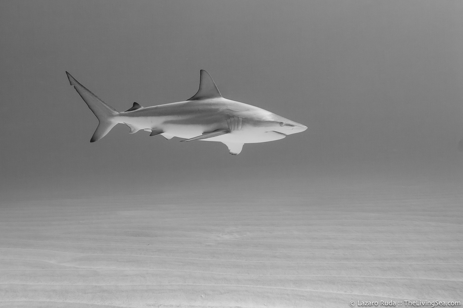 Blacktip Shark, cat-shark, copyrighted, wide anglee