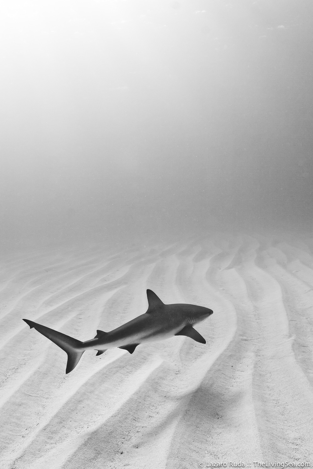 Caribbean reef shark: Carcharhinus perezi, Cartilaginous Fishes: Chondrichthyes, Fishes, Ground Sharks: Carcharhiniformes, Marine Life, Requiem Sharks: Carcharhindidae, Sharks, cat-shark, copyrighted, marine, ocean, portrait, underwater, underwater photo, wide angle