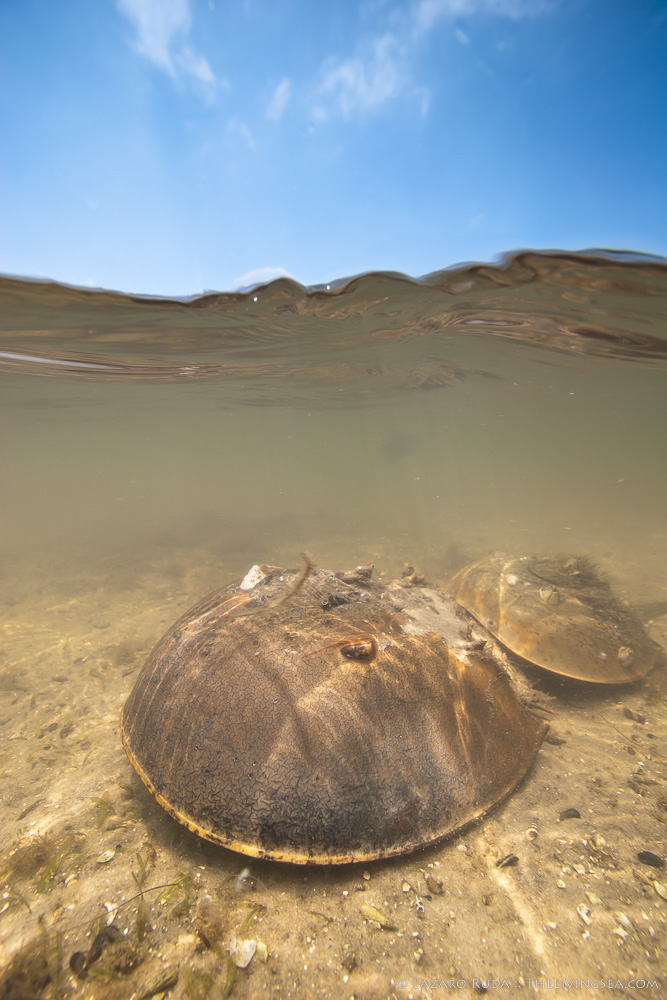 060606, Arthropods: Arthropoda, Barnacles: Cirripedia, Crustaceans: Crustacea, Invertebrates, Marine Life, Tide Pool, copyrighted, estuary, horseshoe crab: Limulus polyphemus, marine, ocean, over-under: under/over: under-over: split: split perspective: ha, underwater, underwater photo