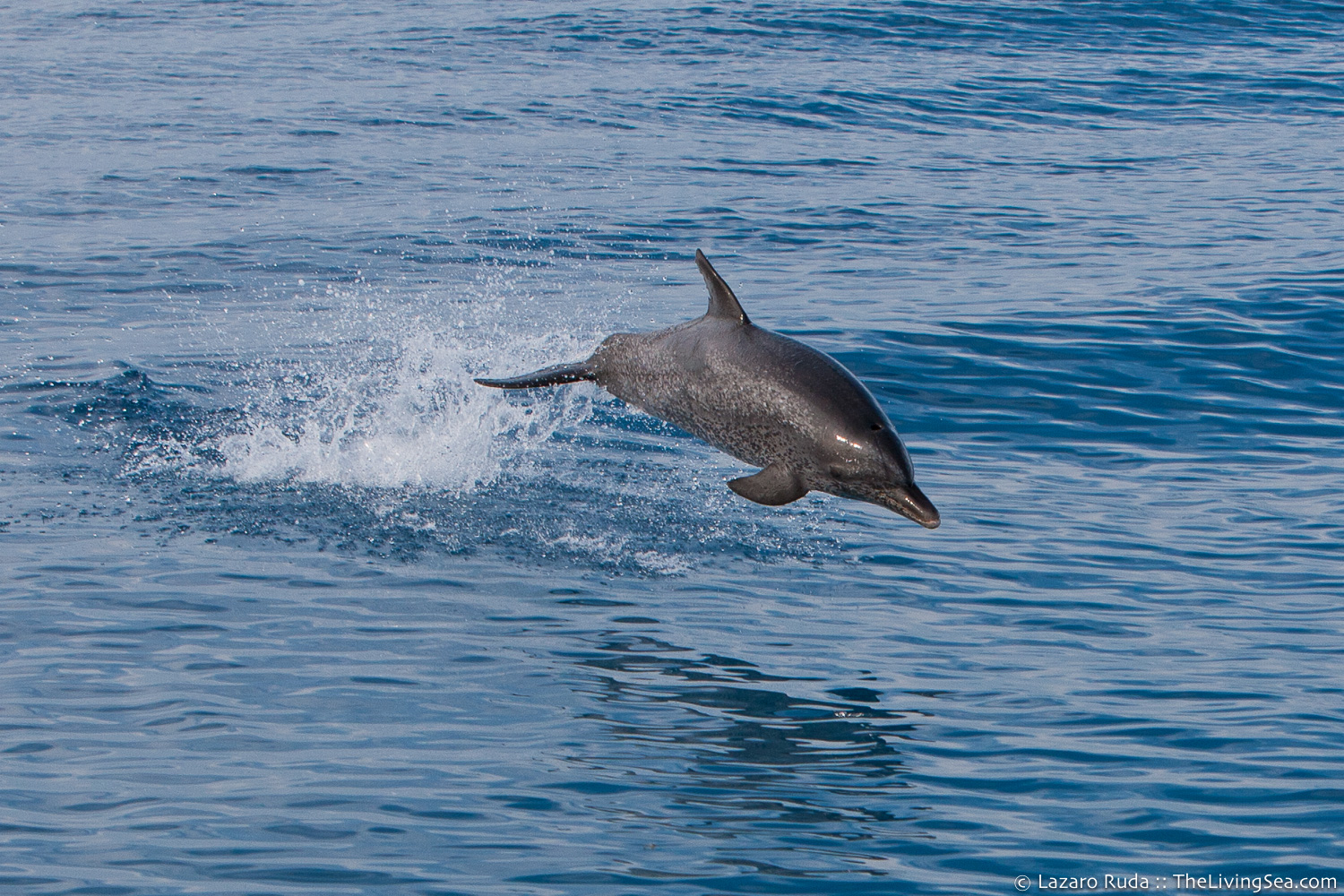 Atlantic spotted dolphin: Stenella frontalis, Cetaceans: Cetacea, Mammalia, Marine Dolphins: Delphinidae, Marine Life, Marine Mammals, adult, blue, body - full, copyrighted, dolphin, favorite, front-side profile, gray, horizontal, jumping / leaping, landscape, large, larger than 56 inches, mammal, marine, mature, ocean, ocean surface, sleek, swimming, telephoto, underwater, underwater photo, zoom