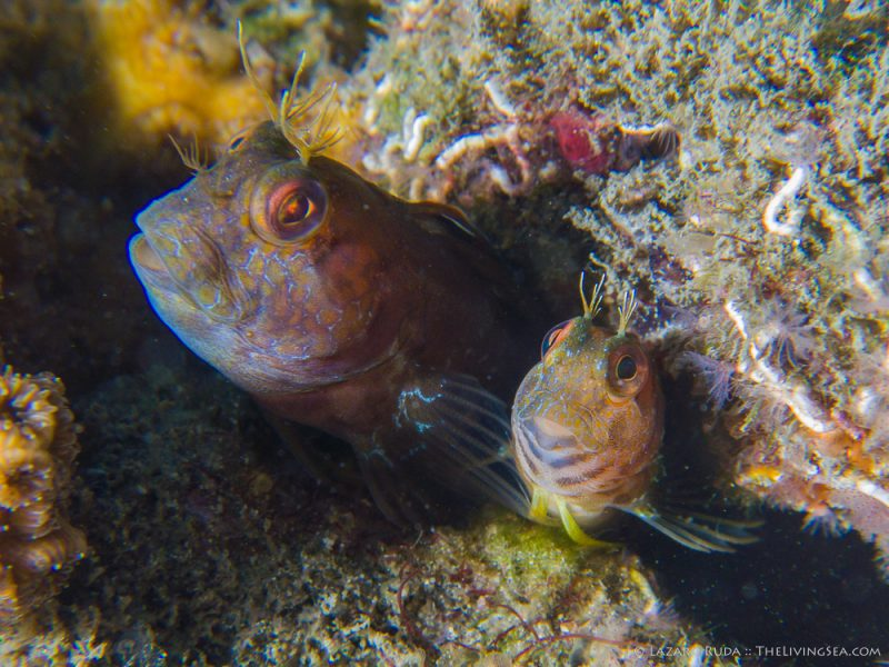 080307, 1 -3 inches, Bony Fishes: Osteichthyes, Combtooth Blennies: Blenniidae, Fishes, Marine Life, Seaweed Blenny, adult, body - partial, copyrighted, egg laying, female, fish, guarding eggs, horizontal, landscape, macro, male, marine, mating, mature, muck, nesting, ocean, seaweed blenny: Parablennius marmoreus, sloping head, spawning, underwater, underwater photo, vertebrates