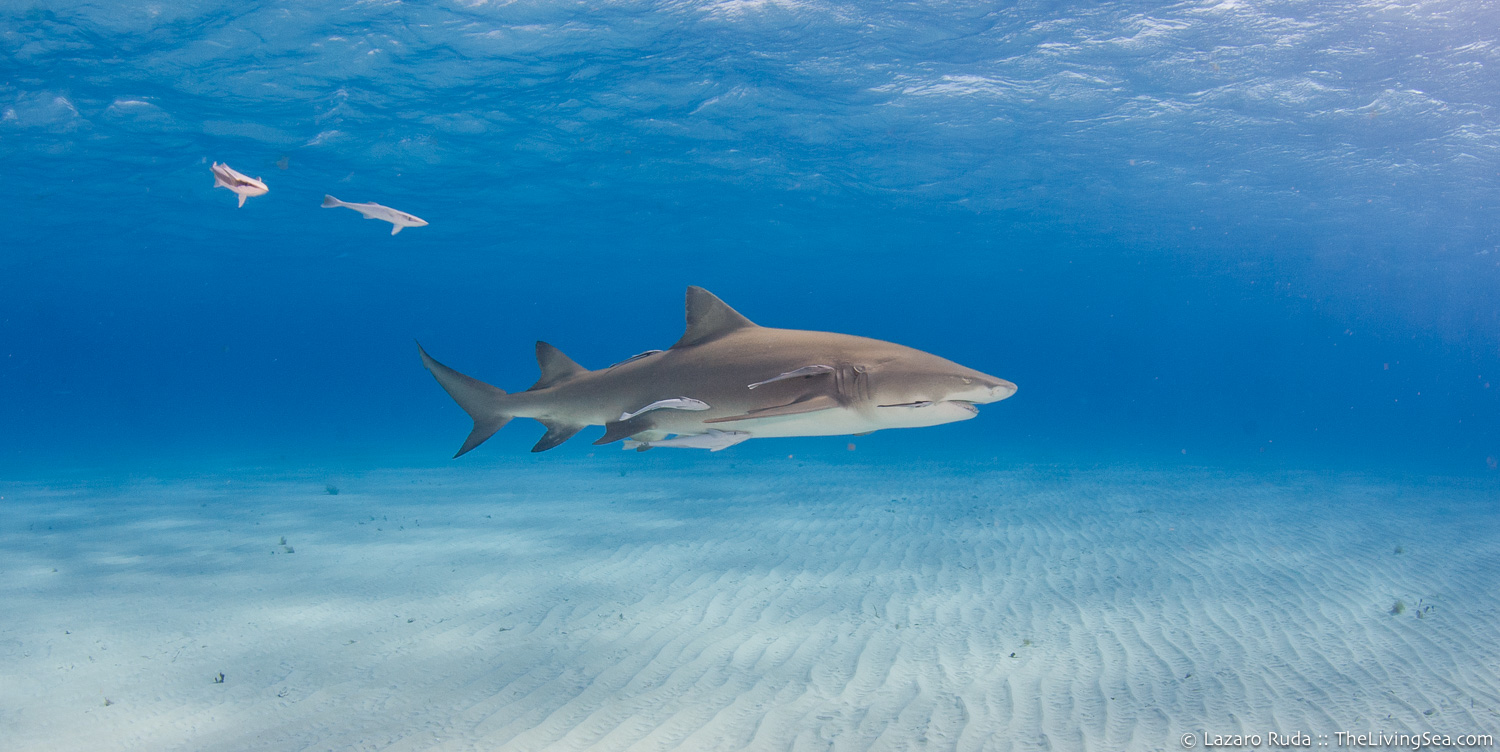 Cartilaginous Fishes: Chondrichthyes, Fishes, Ground Sharks: Carcharhiniformes, Lemon shark: Negaprion brevirostris, Marine Life, Requiem Sharks: Carcharhindidae, Sharks, cat-shark, copyrighted, landscape, marine, ocean, underwater, underwater photo, wide angle