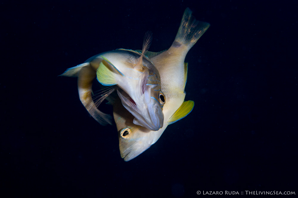 4 - 8 inches, Bony Fishes: Osteichthyes, Fishes, Hamlets: Serranids: Serranidae, Marine Life, adult, barred hamlet: Hypoplectrus puella, blue, body - full, close up, copyrighted, favorite, fish, horizontal, landscape, marine, mating, mature, ocean, side profile, spawning, tan, underwater, underwater photo, yellow