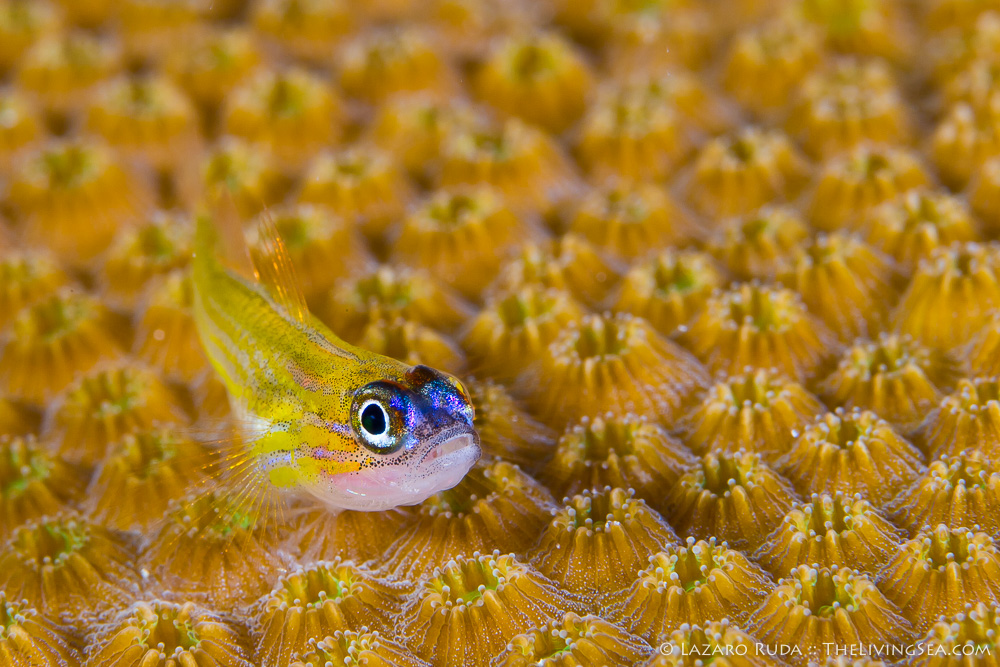 Anthozoans: Anthozoa, Bony Fishes: Osteichthyes, Cnidarians: Cnidaria, Faviidae, Faviina, Fishes, Gobies: Gobiidae, Hexacorals: Hexacorallia, Invertebrates, Marine Life, Stony Corals: Scleractina: Scleractinia, adult, blue, body - full, boulder star coral: Montastrea annularis, copyrighted, coral, fish, front-side profile, horizontal, landscape, less than 1 inch, macro, marine, mature, ocean, peppermint goby: Coryphopterus lipernes, perched, reef, super macro, thin, underwater, underwater photo, yellow