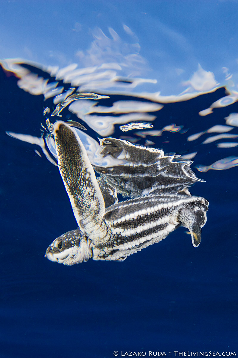 4 - 8 inches, Leatherback: Dermochelys, Marine Life, Reptiles, Reptilia, Sea Turtles: Testudines, adolescent, baby, blue, body - full, close focus / wide angle, copyrighted, gray, immature, juvenile, leatherback sea turtle: leatherback: leatherback turtle: Dermoch, marine, ocean, ocean surface, open ocean, portrait, reptile, sea turtle, side profile, sleek, swimming, underwater, underwater photo, vertical, white, wide angle, young