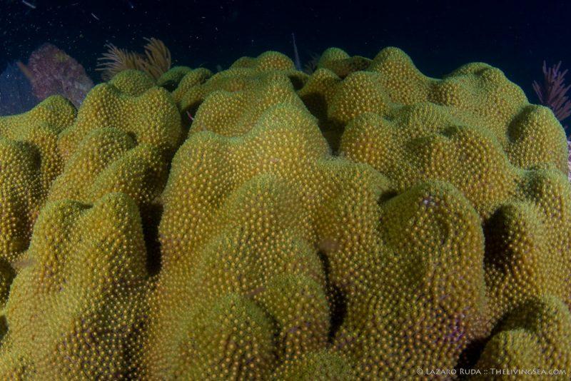 080822, Anthozoans: Anthozoa, Cnidarians: Cnidaria, Faviidae, Faviina, Hexacorals: Hexacorallia, Invertebrates, Marine Life, Mountainous star coral: Montastraea faveolata, Stony Corals: Scleractina: Scleractinia, copyrighted, coral, egg, marine, ocean, spawning, underwater, underwater photo, wide angle