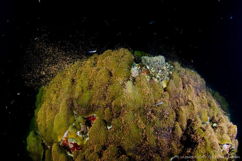 080822, Anthozoans: Anthozoa, Cnidarians: Cnidaria, Faviidae, Faviina, Hexacorals: Hexacorallia, Invertebrates, Marine Life, Mountainous star coral: Montastraea faveolata, Stony Corals: Scleractina: Scleractinia, copyrighted, coral, egg, horizontal, landscape, marine, ocean, spawning, underwater, underwater photo, wide angle