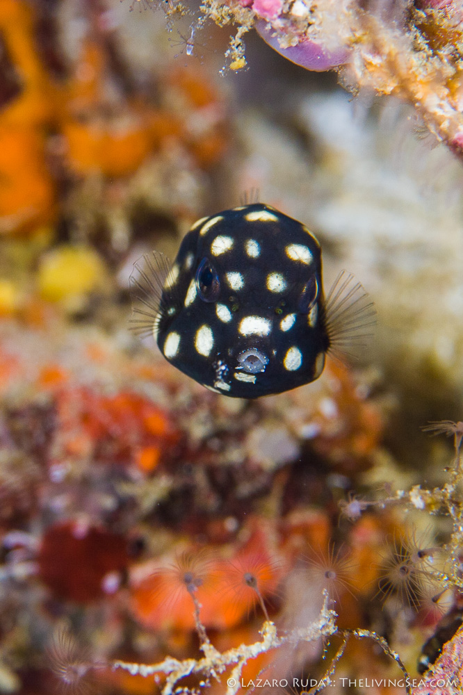 Bony Fishes: Osteichthyes, Boxfishes: Ostraciidae, Fishes, Marine Life, baby, copyrighted, immature, juvenile, macro, marine, ocean, poisonous, portrait, smooth trunkfish: lactophrys triqueter, toxin, underwater, underwater photo, young