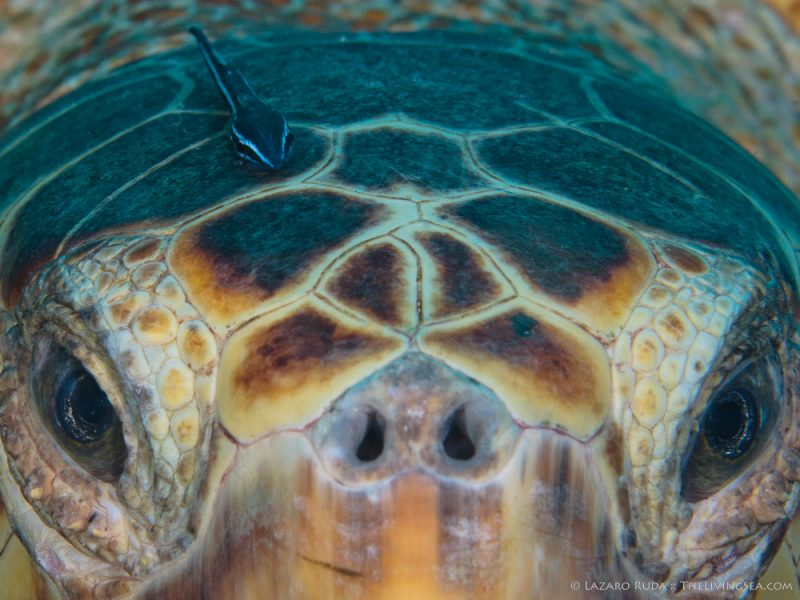 080829, 37 - 48 inches, Cheloniidae, Marine Life, Reptiles, Reptilia, Sea Turtles: Testudines, Sharksucker, adult, brown, close up, copyrighted, curious, face, favorite, head, heavy body, horizontal, landscape, loggerhead turtle: loggerhead: Carreta carreta, marine, mature, ocean, reptile, symbiotic relationship, underwater, underwater photo, video, yellow