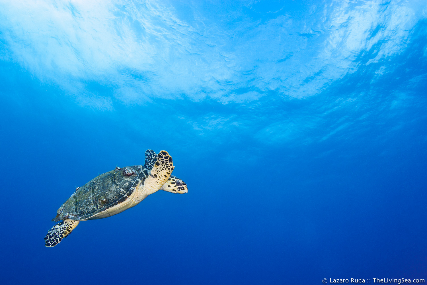 25 - 36 inches, Cheloniidae, Marine Life, Reptiles, Reptilia, Sea Turtles: Testudines, adolescent, blue, body - full, copyrighted, disk / oval, hawksbill sea turtle: hawksbill turtle: hawksbill: Eretmochelys , horizontal, landscape, marine, ocean, reptile, side profile, swimming, tan, underwater, underwater photo, wide angle