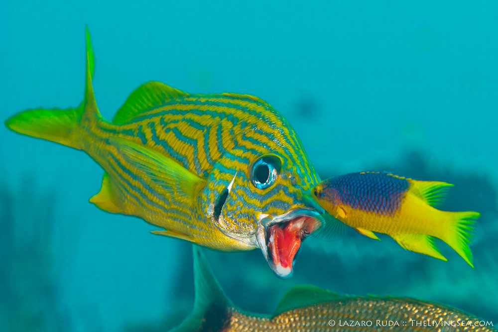 1 -3 inches, 4 - 8 inches, Bony Fishes: Osteichthyes, Fishes, French grunt: Haemulon flavolineatum, Grunts: Haemulidae, Labridae, Marine Life, Spanish hogfish: Bodianus rufus, baby, body - full, cleaning, close up, copyrighted, disk / oval, eating, feeding, fish, front-side profile, horizontal, immature, juvenile, landscape, marine, ocean, purple, symbiosis, symbiotic relationship, underwater, underwater photo, yellow, young