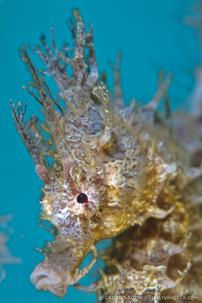 Bony Fishes: Osteichthyes, Fishes, Marine Life, Seahorses: Syngathidae: Sygnathidae, copyrighted, lined seahorse: Hippocampus erectus, macro, marine, muck, ocean, portrait, underwater, underwater photo, vertical