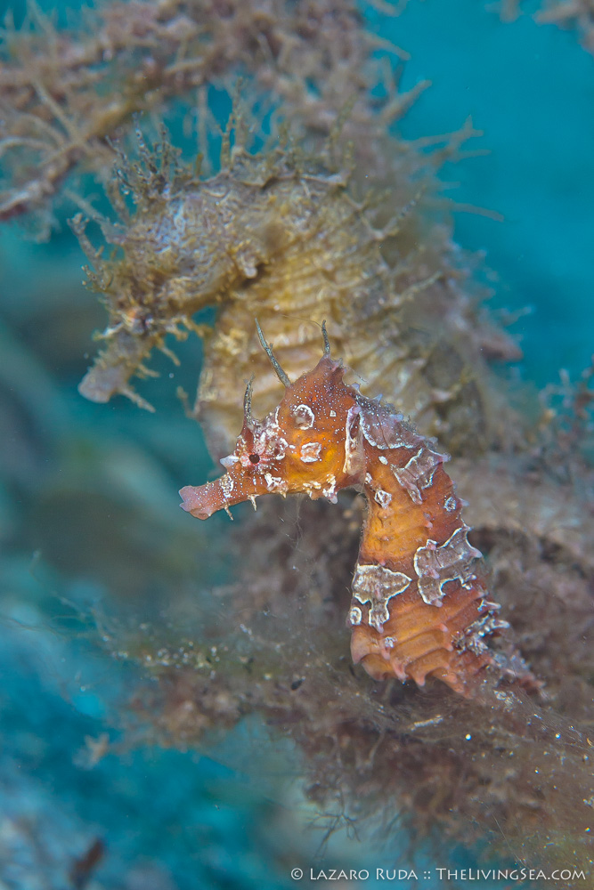 Bony Fishes: Osteichthyes, Fishes, Marine Life, Seahorses: Syngathidae: Sygnathidae, copyrighted, female, lined seahorse: Hippocampus erectus, macro, male, marine, mating, muck, ocean, underwater, underwater photo