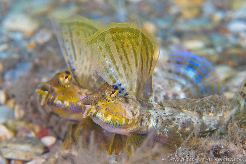 Bony Fishes: Osteichthyes, Dragonets: Callionymidae, Fishes, Marine Life, behavior, copyrighted, horizontal, lancer dragonet: Paradiplogrammus bairdi, landscape, male, marine, ocean, territorial, underwater, underwater photo