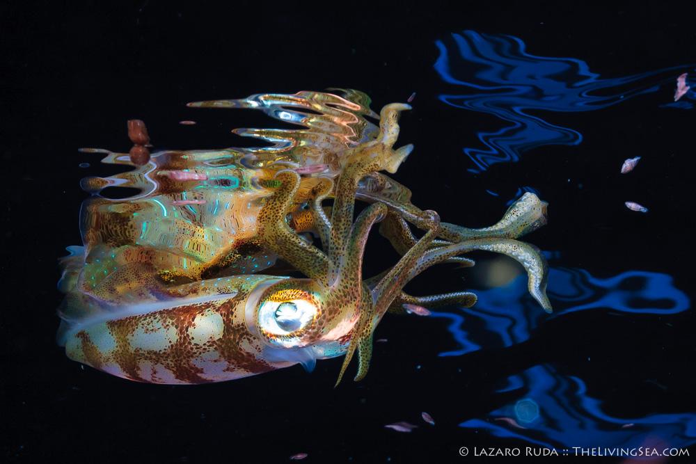 Caribbean reef squid: Sepioteuthis sepioidea, Cephalopods: Cephalopoda, Invertebrates, Marine Life, Mollusks: Mollusca, copyrighted, horizontal, landscape, macro, marine, ocean, underwater, underwater photo