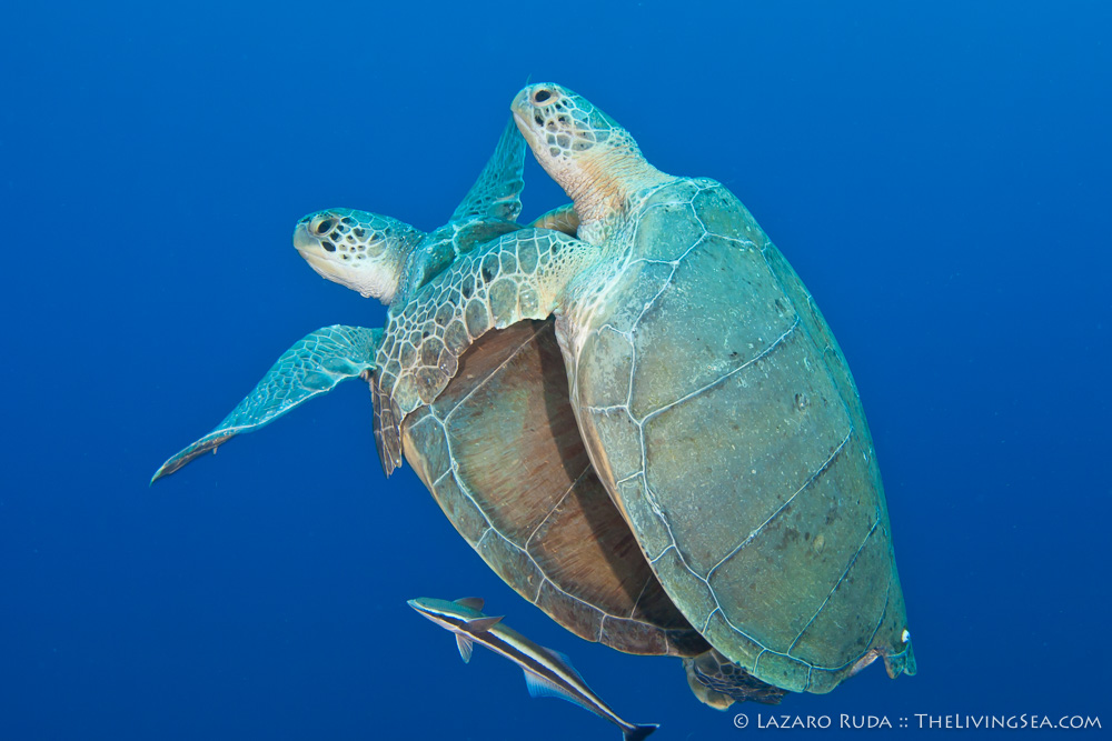 Cheloniidae, Marine Life, Reptiles, Reptilia, Sea Turtles: Testudines, copyrighted, female, green sea turtle: green turtle: Chelonia mydas, male, marine, mating, ocean, reproduction, underwater, underwater photo