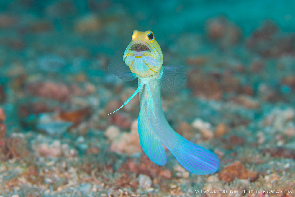 Bony Fishes: Osteichthyes, Fishes, Jawfishes: Opistognathidae, Marine Life, copyrighted, eggs, horizontal, landscape, macro, marine, ocean, underwater, underwater photo, yellowhead jawfish: Opistognathus aurifrons