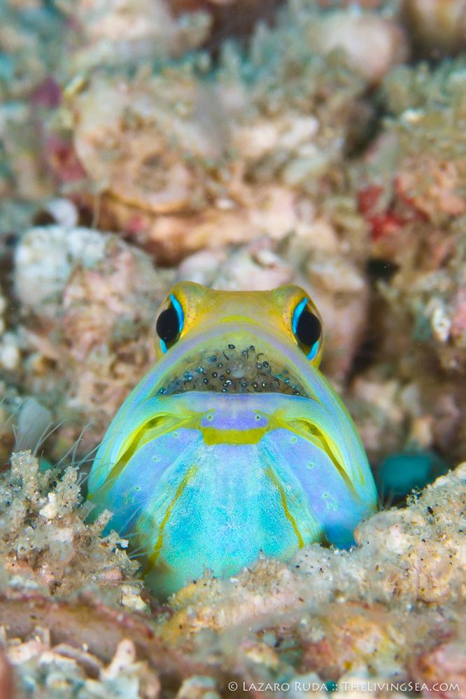 Bony Fishes: Osteichthyes, Fishes, Jawfishes: Opistognathidae, Marine Life, copyrighted, eggs, macro, marine, ocean, portrait, underwater, underwater photo, vertical, yellowhead jawfish: Opistognathus aurifrons