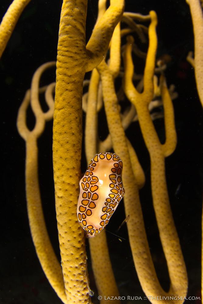 Anthozoans: Anthozoa, Cnidarians: Cnidaria, Gastropods: Gastropoda, Gorgonians: Gorgonacea, Invertebrates, Marine Life, Mollusks: Mollusca, Octocorals: Octocorallia, Soft Corals: Stoloniferans: Gorgonians: Alyconacea, copyrighted, flamingo tongue: Cyphoma gibbosm, marine, night, night dive, ocean, underwater, underwater photo