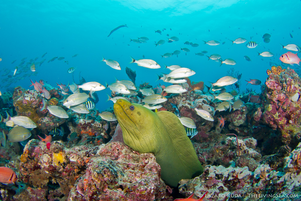 Bony Fishes: Osteichthyes, FL, Fishes, Florida, Grunts: Haemulidae, Marine Life, Moray Eels: Morays: Muraenidae, USA, United States, copyrighted, coral, green moray: Gymnothorax funebris, marine, ocean, reef, underwater, underwater photo