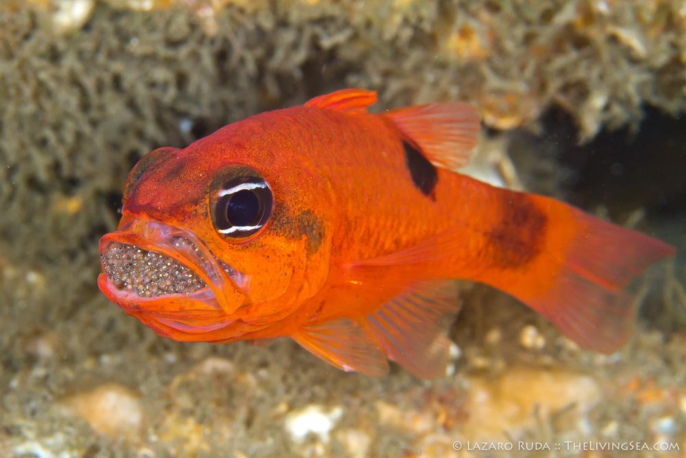 Bony Fishes: Osteichthyes, Cardinalfishes: Apogonidae, Fishes, Marine Life, copyrighted, egg, eggs, marine, ocean, twospot cardinalfish: Apogon pseudomaculatus, underwater, underwater photo