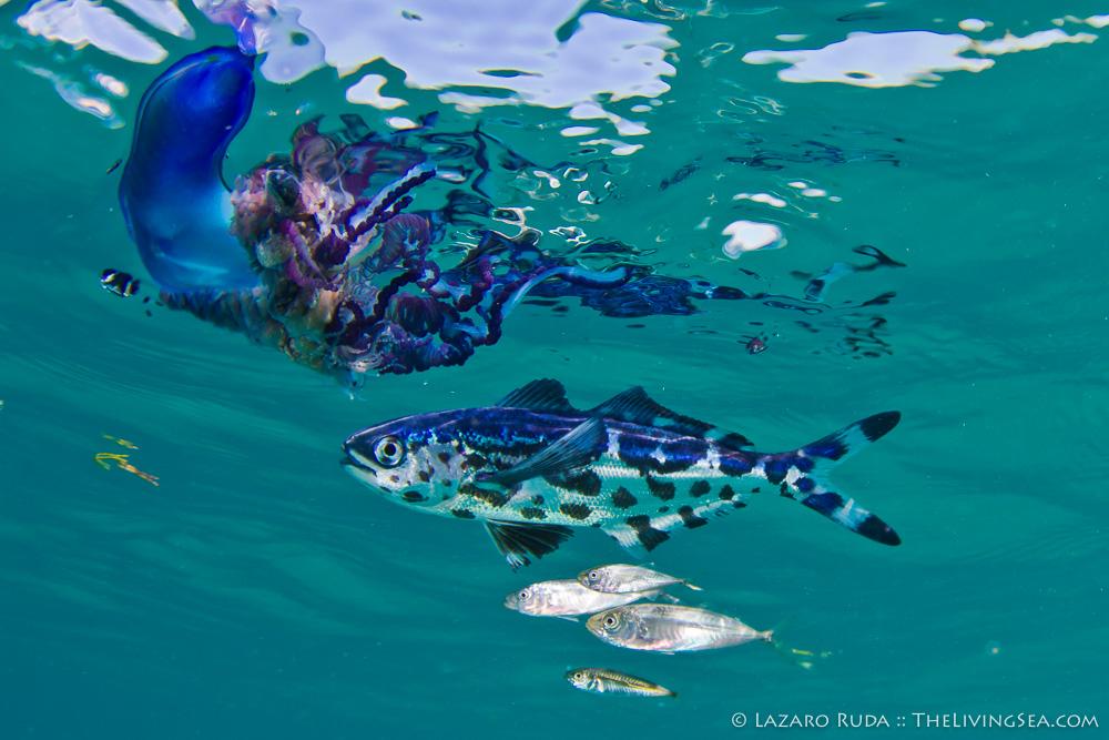 Bony Fishes: Osteichthyes, Cnidarians: Cnidaria, Driftfishes: Nomeidae, Fishes, Hydroids: Hydrozoans: Hydrozoa, Invertebrates, Marine Life, Portuguese man-of-war: Physalia physalis, Sardine, Siphonophores: Siphonophora, copyrighted, man-of-war fish: Nomeus gronovii, marine, ocean, underwater, underwater photo