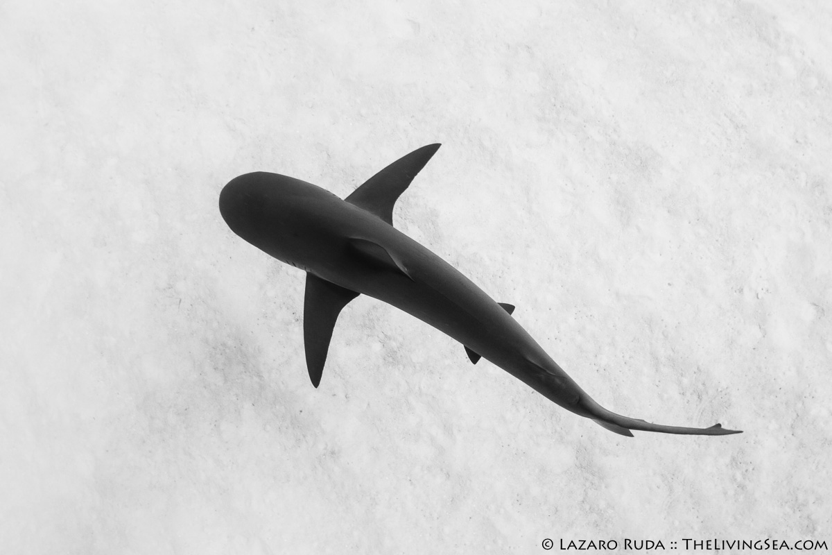37 - 48 inches, Atlantic Ocean, BEHAVIOR, Bahama Island, Bahamas, Caribbean reef shark: Carcharhinus perezi, Cartilaginous Fishes: Chondrichthyes, Fishes, Ground Sharks: Carcharhiniformes, Laz Ruda, Lazaro Ruda Wildlife Photographer, MARINE LIFE, Requiem Sharks: Carcharhindidae, Sharks, TheLivingSea.com, adult, black, body - full, gray, horizontal, marine, ocean, sand, swimming, top profile, underwater, underwater photo, white, wide angle