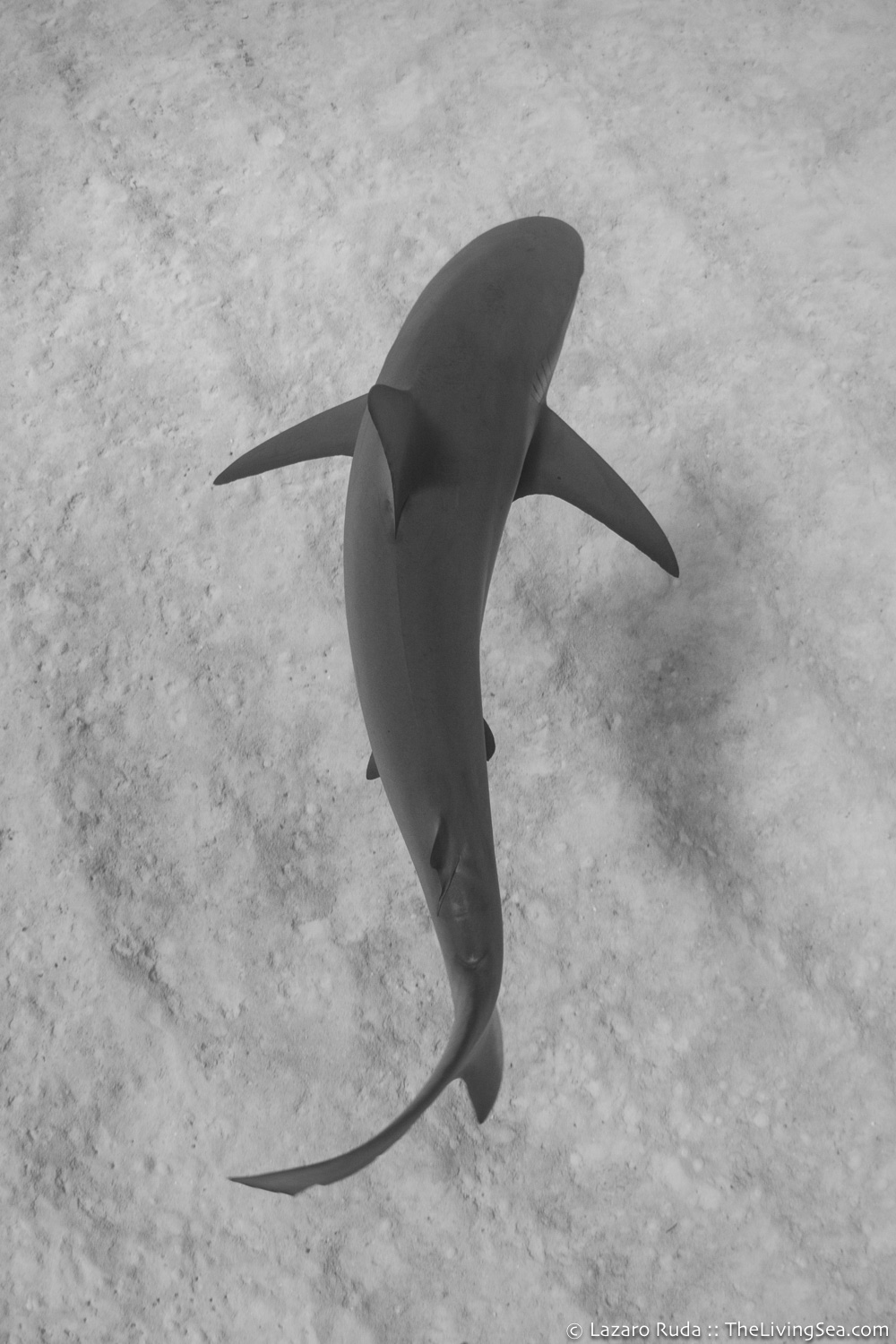 Bahamas, Caribbean reef shark: Carcharhinus perezi, Cartilaginous Fishes: Chondrichthyes, Fishes, Ground Sharks: Carcharhiniformes, Marine Life, Requiem Sharks: Carcharhindidae, Sharks, West Indies, b/w, copyrighted, marine, ocean, sand, tropical, underwater, underwater photo, wide angle