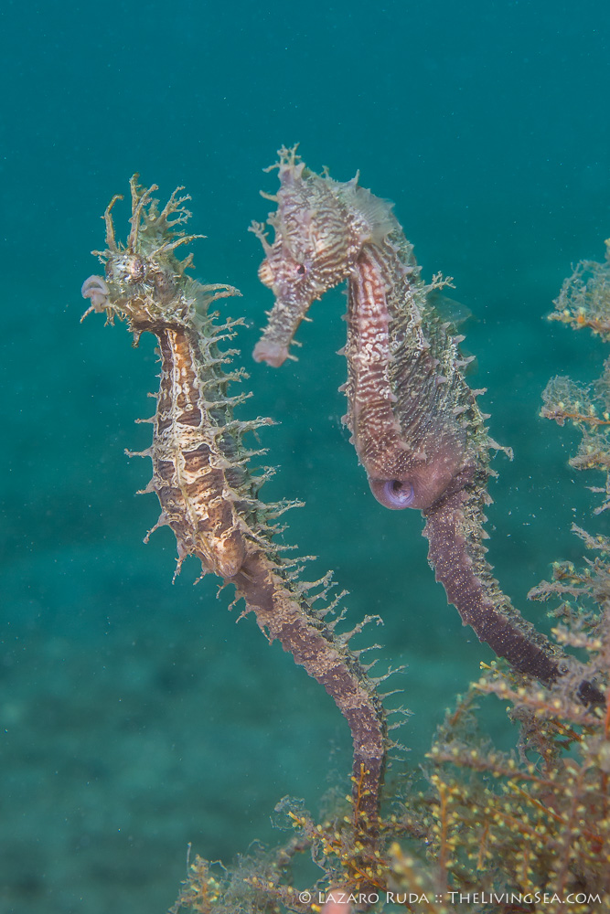 Bony Fishes: Osteichthyes, FL, Fishes, Florida, Marine Life, Seahorses: Syngathidae: Sygnathidae, USA, United States, behavior, female, lined seahorse: Hippocampus erectus, macro, male, marine, mating, mating / courtship, muck, ocean, rare, reproduction, scuba, scuba diving, underwater, underwater photo