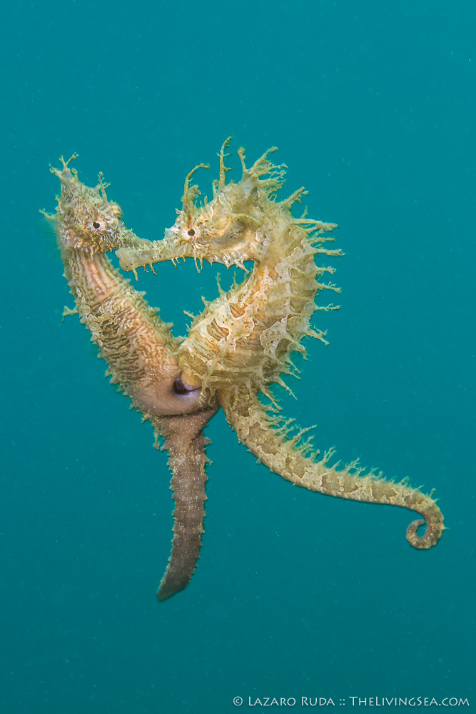 Bony Fishes: Osteichthyes, FL, Fishes, Florida, Groupers: Serranids: Serranidae, Marine Life, Palm Beach County, Seahorses: Syngathidae: Sygnathidae, USA, United States, West Palm Beach, behavior, copyrighted, lined seahorse: Hippocampus erectus, macro, malabar grouper: Epinephelus malabaricus, marine, mating, mating / courtship, muck, ocean, photo, photograph, photography, pregnant, rare, reproduction, underwater, underwater photo, underwater photography