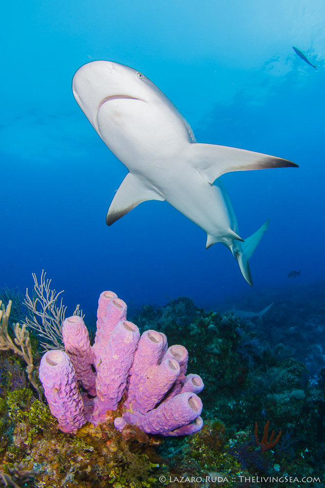 Atlantic Ocean, Bahamas, Caribbean reef shark: Carcharhinus perezi, Cartilaginous Fishes: Chondrichthyes, Fishes, Ground Sharks: Carcharhiniformes, Invertebrates, Marine Life, Requiem Sharks: Carcharhindidae, Sharks, Siliceous Sponges: Demospongiae, Sponges: Porifera, TheLivingSea, TheLivingSea.com, West Indies, copyrighted, coral, marine, ocean, portrait, purple tube sponge: Aplysina lacunosa, reef, sea, tropical, underwater, underwater photo, wide angle