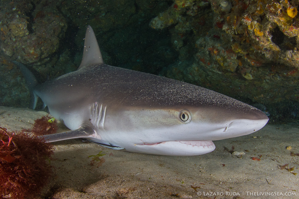 Caribbean reef shark: Carcharhinus perezi, Cartilaginous Fishes: Chondrichthyes, Fishes, Ground Sharks: Carcharhiniformes, Marine Life, Requiem Sharks: Carcharhindidae, Sharks, behavior, copyrighted, horizontal, marine, ocean, resting, sleeping, underwater, underwater photo, wide angle