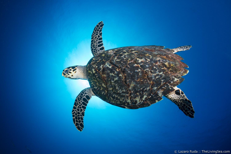Cheloniidae, Marine Life, Reptiles, Reptilia, Sea Turtles: Testudines, copyrighted, endangered, hawksbill sea turtle: hawksbill turtle: hawksbill: Eretmochelys , marine, ocean, underwater, underwater photo