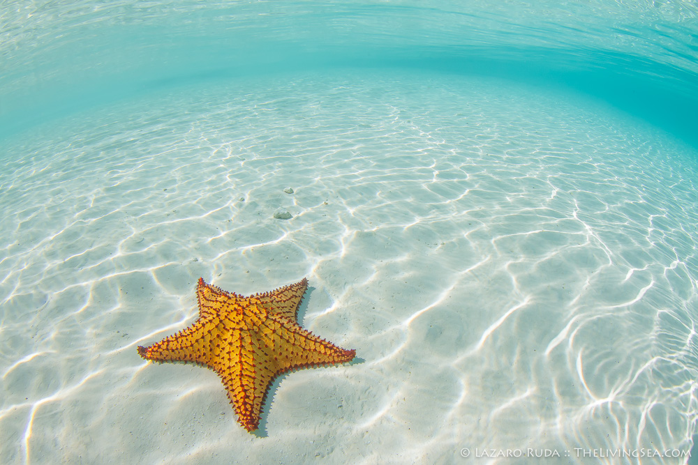 Bahamas, Echinoderms: Echinodermata, Invertebrates, Marine Life, Sea Stars: Asteroids: Asteroidea, West Indies, cushion sea star: Oreaster reticulatus, landscape, marine, ocean, sand, tropical, underwater, underwater photo, wide angle