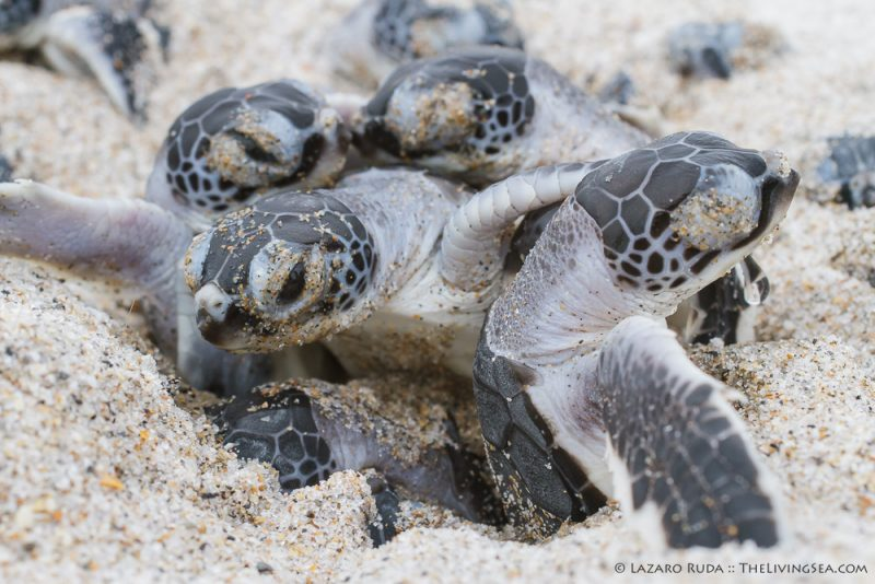 Cheloniidae, FL, Florida, Marine Life, Palm Beach County, Reptiles, Reptilia, Sea Turtles: Testudines, USA, United States, West Palm Beach, baby, endangered, green sea turtle: green turtle: Chelonia mydas, hatchling, immature, juvenile, marine, ocean, underwater, underwater photo, young
