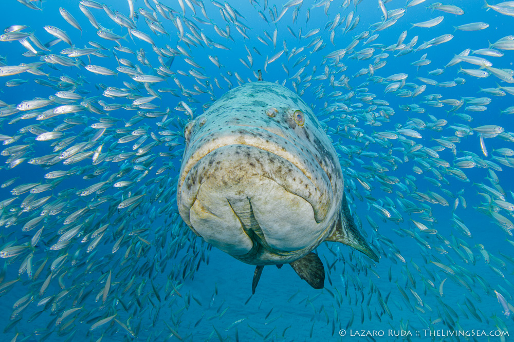 Atlantic Ocean, Bony Fishes: Osteichthyes, FL, Fishes, Florida, Groupers: Serranids: Serranidae, Jacks: Carangidae, Marine Life, Palm Beach County, USA, United States, West Palm Beach, aggregating, baitfish, goliath grouper: Epinephelus itajara, marine, ocean, protection, round scad: Decapterus punctatus, schooling, underwater, underwater photo