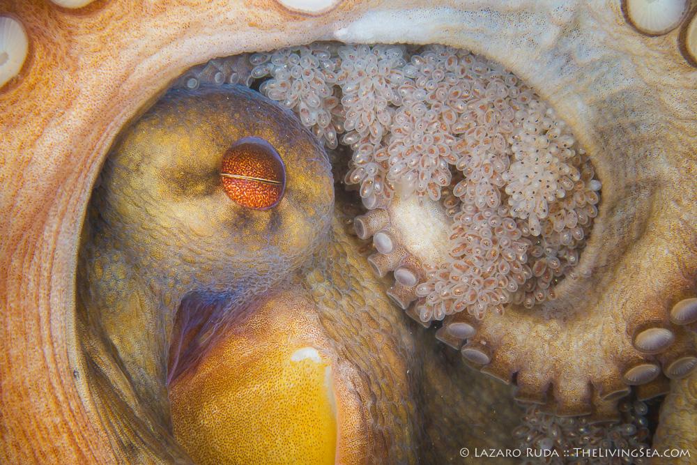 Atlantic Ocean, Cephalopods: Cephalopoda, FL, Florida, Invertebrates, Marine Life, Mollusks: Mollusca, Octopus: Octopoda, Palm Beach County, TheLivingSea.com, USA, United States, West Palm Beach, brood, common octopus: Octopus vulgaris, egg, female, landscape, macro, marine, ocean, protection, underwater, underwater photo