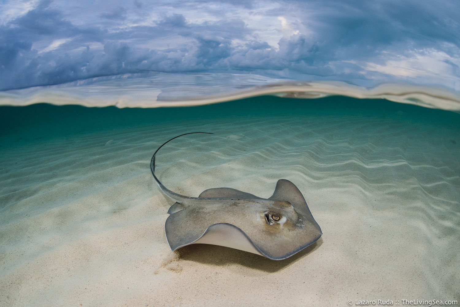 Bahamas, Batoidea: Batoids, Cartilaginous Fishes: Chondrichthyes, Elasmobranchs: Elasmobranchii, Fishes, Marine Life, Rajiformes, Rays and Skates, West Indies, Whiptail Stingrays: Dasyatidae, marine, ocean, over-under: under/over: under-over: split: split perspective: ha, southern stingray: Dasyatis americana, tropical, underwater, underwater photo, wide angle