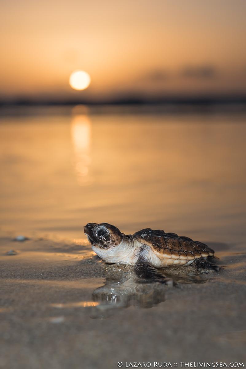 1 -3 inches, Atlantic Ocean, BEHAVIOR, Cheloniidae, FL, Florida, Laz Ruda, Lazaro Ruda Wildlife Photographer, MARINE LIFE, Palm Beach, Palm Beach County, Reptiles, Reptilia, Sea Turtles: Testudines, TheLivingSea.com, USA, West Palm Beach, [LOCATION], baby, baby sea turtle, beach, body - full, brown, close focus - wide angle, close focus wide angle, crawling, disk / oval, endangered, endangered species, gold, hatchling, horizontal, juvenile, loggerhead turtle: loggerhead: Carreta carreta, macro wide angle, marine, ocean, portrait, reptile, sunrise, underwater, underwater photo, vertical, wide angle, wide angle macro, young