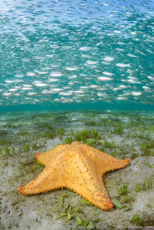13 - 24 inches, Atlantic Ocean, BEHAVIOR, Echinoderms: Echinodermata, FL, Florida, Invertebrates, Laz Ruda, Lazaro Ruda Wildlife Photographer, MARINE LIFE, Palm Beach, Palm Beach County, Sea Stars: Asteroids: Asteroidea, TheLivingSea.com, USA, West Palm Beach, [LOCATION], adult, bait ball, bait fish, baitball, benthic, benthos, body - full, bottom, close focus - wide angle, close focus wide angle, cushion sea star: Oreaster reticulatus, floor, green, irregular, macro wide angle, marine, ocean, portrait, protection, sand, school, schooling fish, sea floor, silver, teal, underwater, underwater photo, vertical, wide angle, wide angle macro, yellow