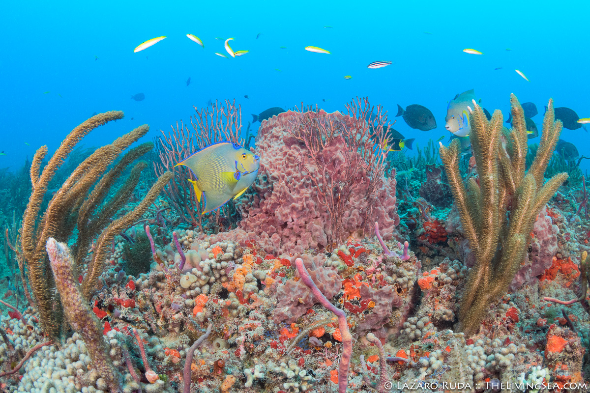 Angelfishes: Pomacanthidae, Anthozoans: Anthozoa, Bony Fishes: Osteichthyes, Cnidarians: Cnidaria, Fishes, Hexacorals: Hexacorallia, Invertebrates, Labridae, Laz Ruda, Lazaro Ruda Wildlife Photographer, MARINE LIFE, Poritidae, Siliceous Sponges: Demospongiae, Sponges: Porifera, Stony Corals: Scleractina: Scleractinia, TheLivingSea.com, West Palm Beach, [LOCATION], blue angelfish: Holacanthus bermudensis, bluehead: Thalassoma bifasciatum, coral, finger coral: Porites compressa, giant barrel sponge: Xestospongia muta, horizontal, marine, ocean, pink, queen angelfish: Holacanthus ciliaris, soft coral, underwater, underwater photo, wide angle