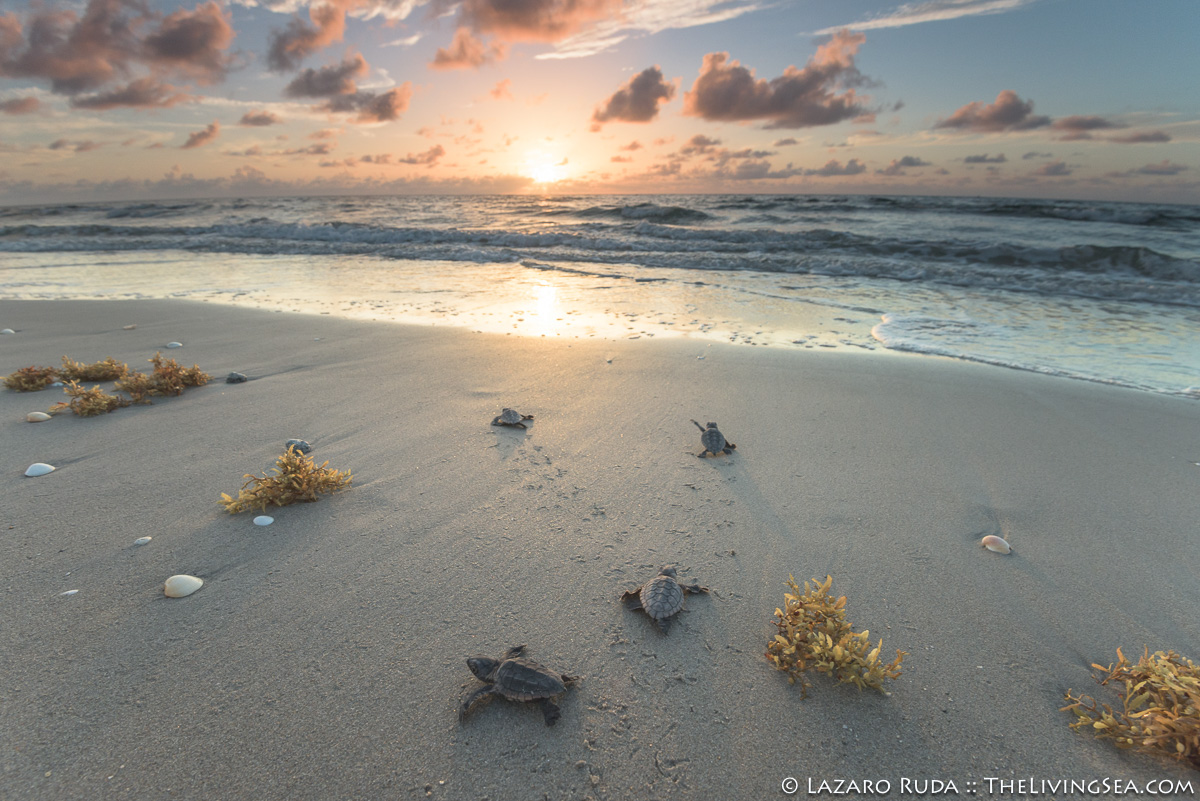 1 -3 inches, Algae, Brown Algae, Brown Algae: Brown Seaweeds: Phaeophyta, Cheloniidae, Laz Ruda, Lazaro Ruda Wildlife Photographer, MARINE LIFE, Reptiles, Reptilia, Sea Turtles: Testudines, TheLivingSea.com, West Palm Beach, [LOCATION], baby, baby sea turtle, beach, brown, gold, hatchling, horizontal, juvenile, loggerhead turtle: loggerhead: Carreta carreta, marine, ocean, sargassum algae: Sargassum sp., sunrise, underwater, underwater photo, wide angle, young