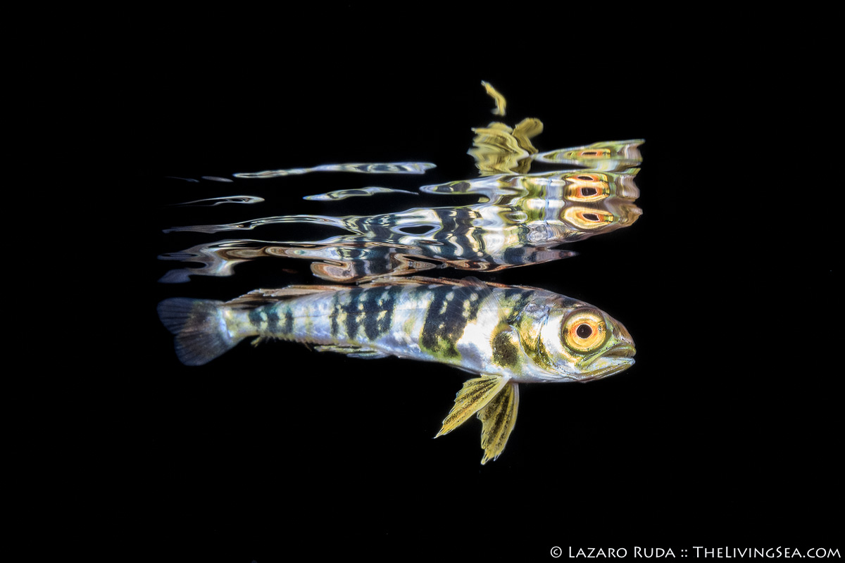 Atlantic dolphinfish, Bony Fishes: Osteichthyes, Coryphaenidae, Dolphinfishes: Coryphaenidae, Fishes, LIFE STAGES, less than 1 inch, Laz Ruda, Lazaro Ruda Wildlife Photographer, MARINE LIFE, PHOTO TYPE, night dive, SIZE, macro, TheLivingSea.com, West Palm Beach, [LOCATION], blackwater, larvae, dolphin fish, dolphinfish: Coryphaena hippurus, dorado, gamefish, horizontal, juvenile, less than 1 inch, macro, mahi, marine, ocean, open ocean, reflection, side profile, silver, underwater, underwater photo, yellow