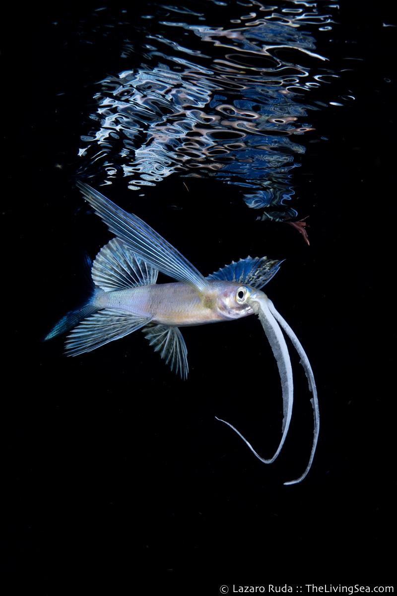 Bony Fishes: Osteichthyes, Fishes, Flyingfishes: Exocoetidae, LIFE STAGES, less than 1 inch, Laz Ruda, Lazaro Ruda Wildlife Photographer, MARINE LIFE, PHOTO TYPE, night dive, SIZE, macro, TheLivingSea.com, West Palm Beach, [LOCATION], blackwater, larvae, marine, ocean, underwater, underwater photo, flyingfish, flying fish