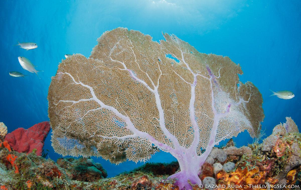 Anthozoans: Anthozoa, Bony Fishes: Osteichthyes, Cnidarians: Cnidaria, Damselfishes: Pomacentridae, Fishes, Gorgonians: Gorgonacea, Gorgoniidae, Holoxania, Invertebrates, Laz Ruda, Lazaro Ruda Wildlife Photographer, MARINE LIFE, Octocorals: Octocorallia, Soft Corals: Stoloniferans: Gorgonians: Alyconacea, TheLivingSea.com, West Palm Beach, [LOCATION], brown chromis: Chromis multilineata, horizontal, marine, ocean, purple sea fan: Gorgonia ventalina, underwater, underwater photo, wide angle